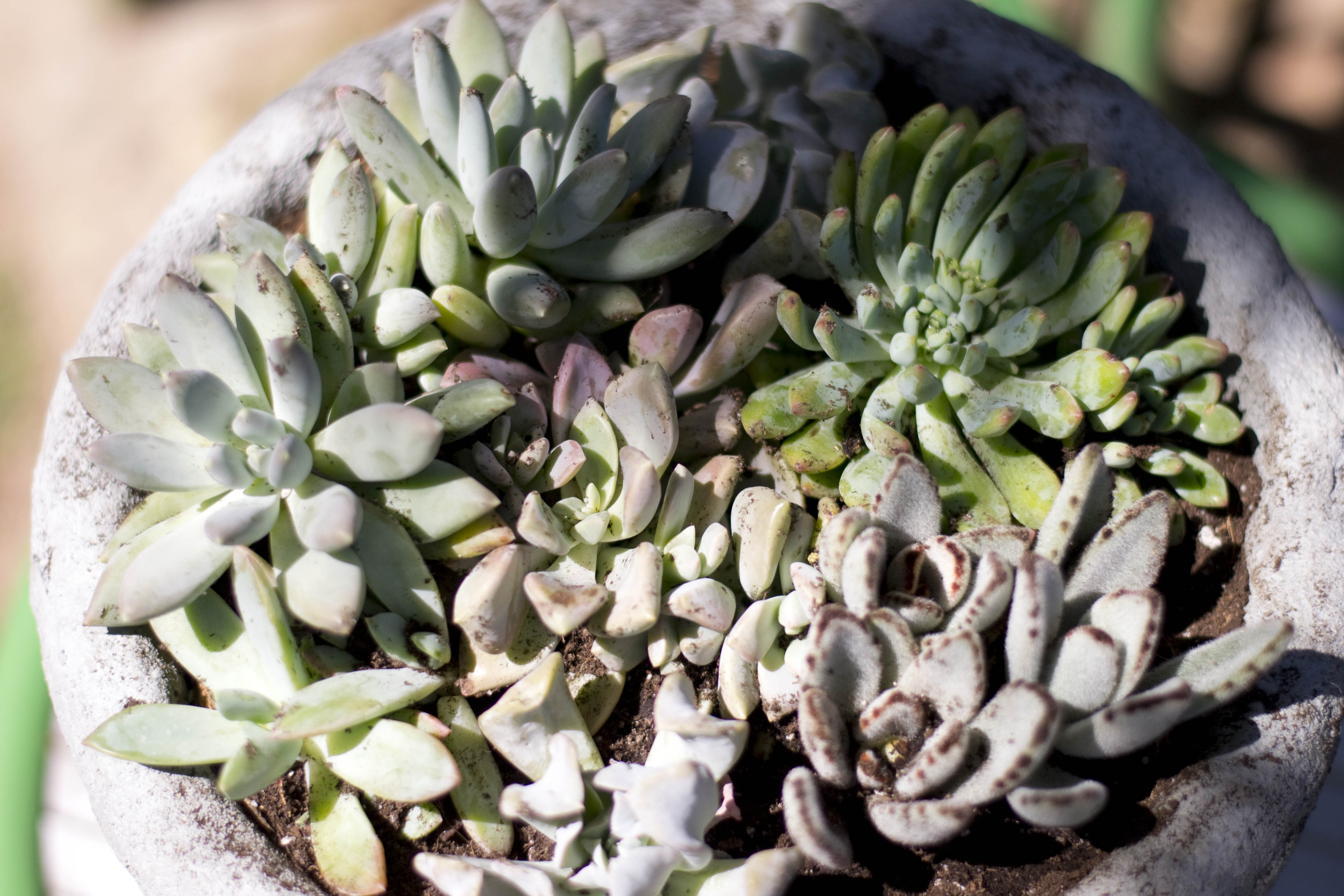 Extra Close Up Succulents in Cement Planter