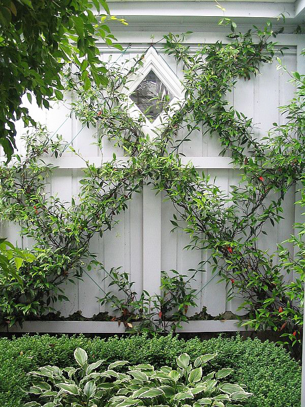 Espalier Vines Fully Grown